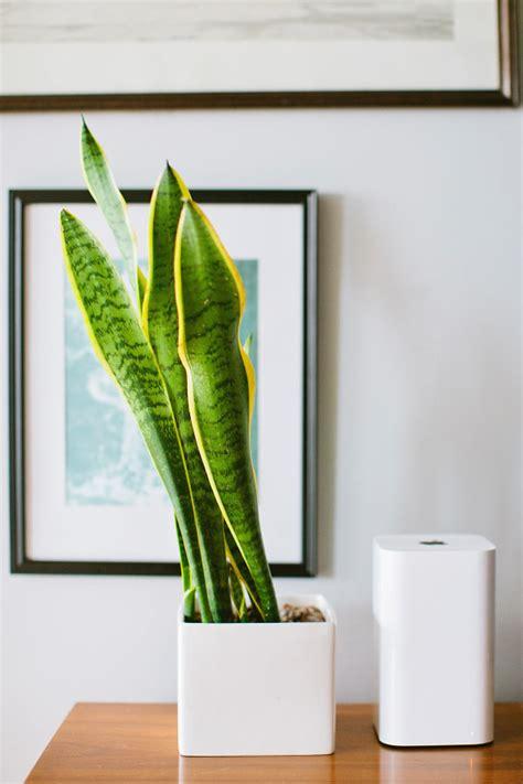 Plantas De Interior Sin Luz Natural. Trendy Areca Palm ...