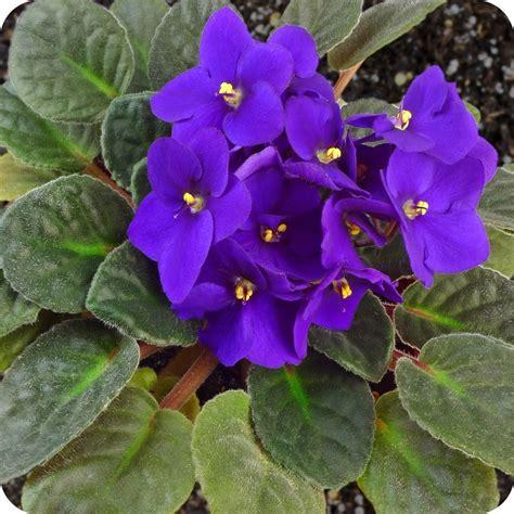 plantas de interior TIPOS Violeta africana   EspacioHogar.com