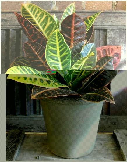 Plantas de interior tropicales, nombres de plantas de hoja ...