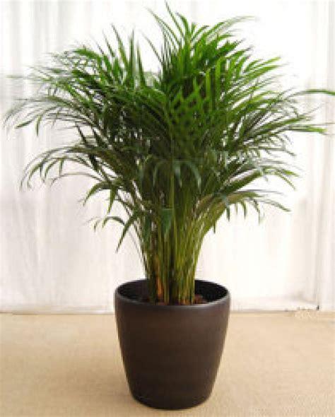 plantas de interior yuca   Cuidar de tus plantas es ...