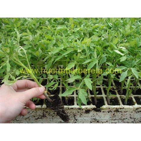 Plantas de tomate Raf.Cultivo de tomates raf.Variedad de ...