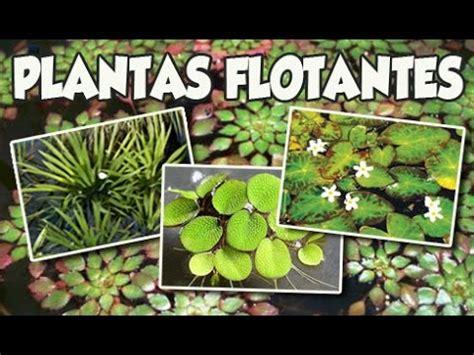 Plantas Flotantes Para tu Estanque ó Acuario   YouTube