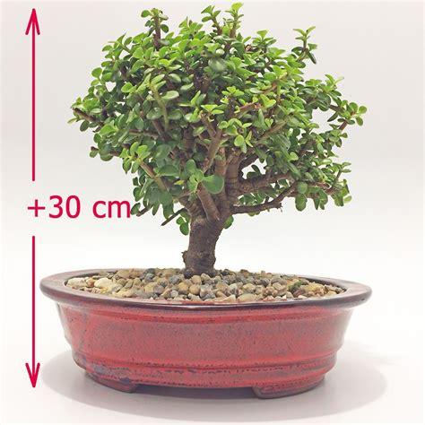 Plantas Jade Bonsai para regalar en Bogota