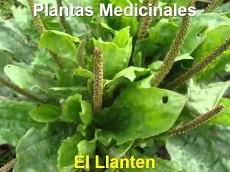 plantas medicinales antiinflamatorias - YouTube