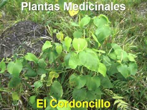Plantas Medicinales   Cordoncillo   YouTube