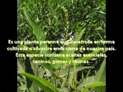 PLANTAS MEDICINALES DEL PERU - YouTube