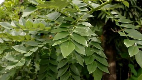 Plantas medicinales, el Matarratón - YouTube