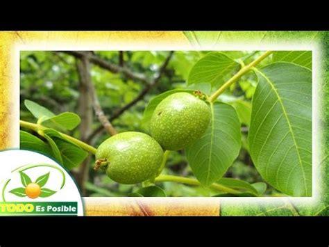 Plantas Medicinales - El Nogal planta - YouTube