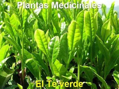 Plantas Medicinales - El Te verde - YouTube