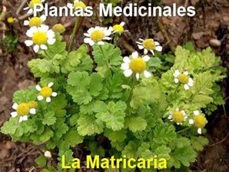 Plantas Medicinales - La Matricaria - YouTube