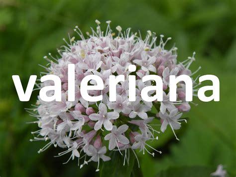 Plantas medicinales, la valeriana - YouTube