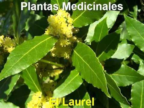 Plantas Medicinales - Laurel - YouTube