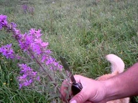 Plantas Medicinales: Salicaria - YouTube