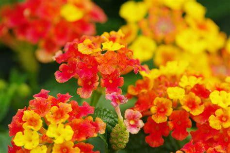 Plantas ornamentales: La lantana  Lantana camara  Flores ...