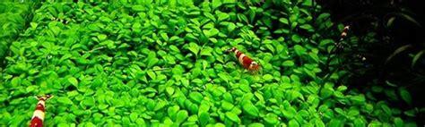Plantas tapizantes para acuario - Exofauna