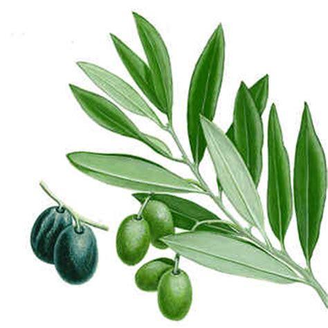 Plantopiancestral: El Olivo