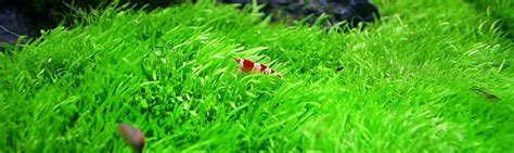 Plants & Shrimps   Plantas y Gambas de agua dulce