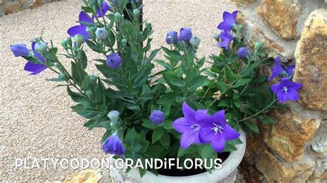 Platycodon grandiflorus. Garden Center online Costa Brava ...