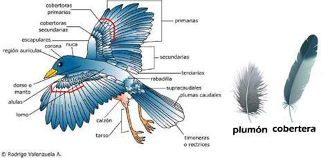 Pluma de aves - Imagui
