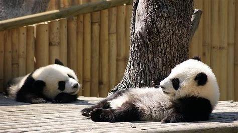 «Po» y «De De» vuelven con mamá oso   ABC.es