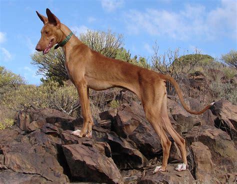 Podenco Canario   Razas perros   Mascotas