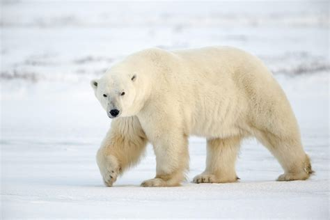 Polar Bear Facts, History, Useful Information and Amazing ...