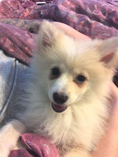Pomeranian Cross Female Puppy For Sale   Dagenham, Essex ...