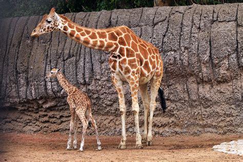 Ponle nombre a la jirafa bebé del zoológico de Chapultepec ...