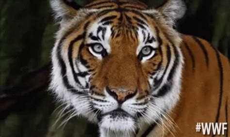 Popular Unimpressed Tiger GIF - Worldwildlifefund Wwf ...