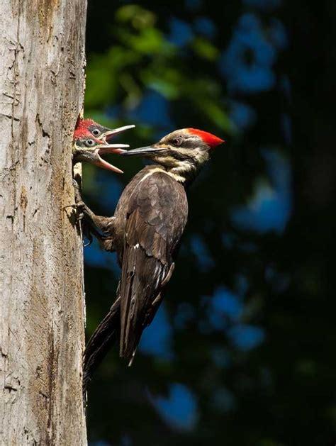 ¿Por qué a los pájaros carpinteros no les duele la cabeza ...