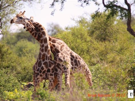 Por qué las jirafas tienen el cuello tan largo  o nada ...