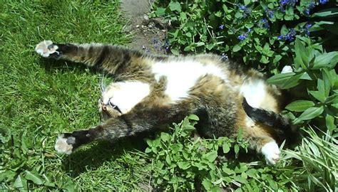 ¿Por qué le gusta tanto la hierba gatera a nuestros amigos ...