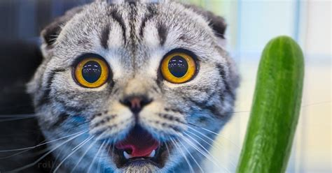 ¿Por qué los Gatos tienen tanto miedo a los Pepinos?