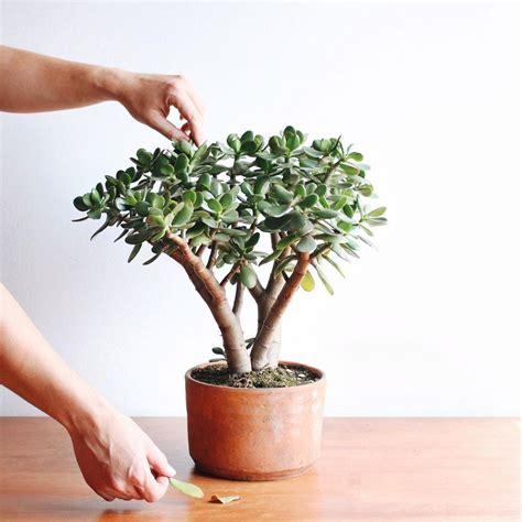 ¿Por qué mi planta Jade tiene las hojas amarillas ...