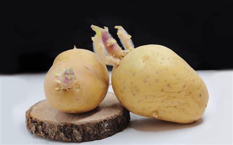¿Por qué no debes comer una patata cuando está germinando ...