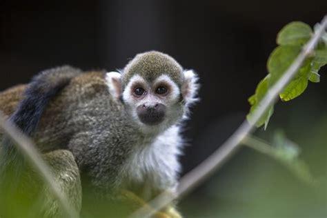 ¿Por qué no se puede tener un mono como mascota?   Mis ...