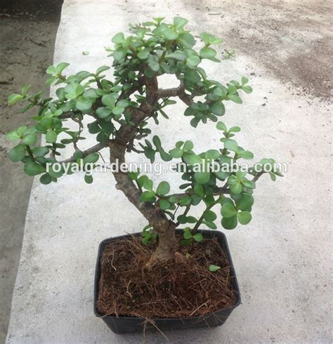 Portulacaria Afra Bonsai ( Jade Plant) - Buy Bonsai Plant ...