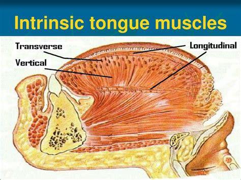 PPT - Anatomy of Oral Cavity, Pharynx & Oesophagus ...
