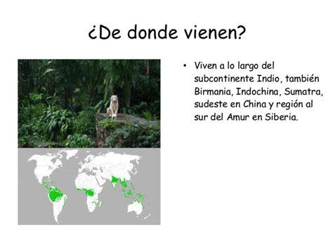 Presentación tigre blanco anmei&emilia