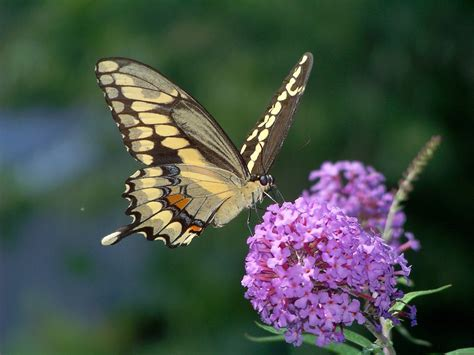 Press Resources for 8/19 Massachusetts Butterfly story ...