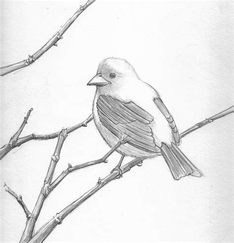 pretty good blog: Bird Pencil Drawing - Scarlett Tanager