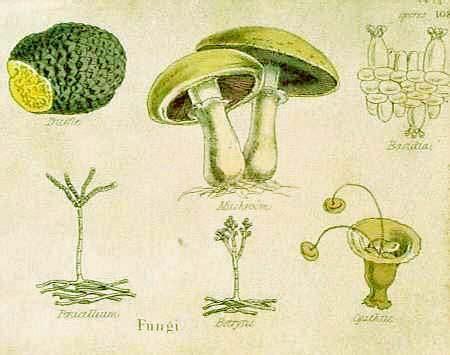 Prints Old & Rare   Fungi and Mushroom   Antique Maps & Prints