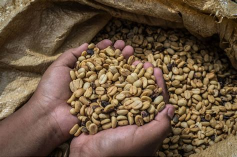 Proceso de cultivo y elaboración de café en México