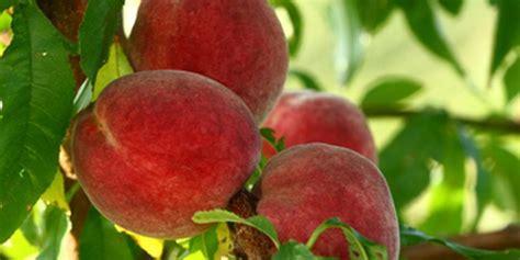 Propiedades del melocotón, una mezcla de sabor y salud
