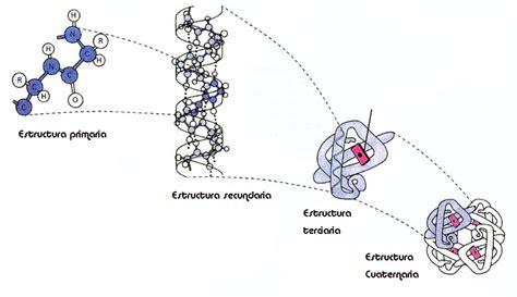 Proteínas: enlace peptídico, estructura de las proteínas ...