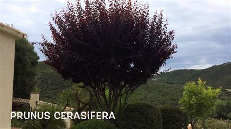 Prunus cerasifera. Garden Center online Costa Brava ...