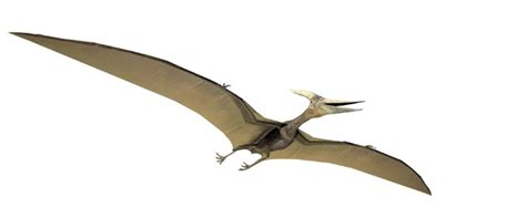 Pterodactyl Pictures & Facts   The Dinosaur Database