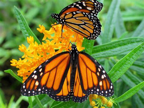 pulgón: fotos de mariposas