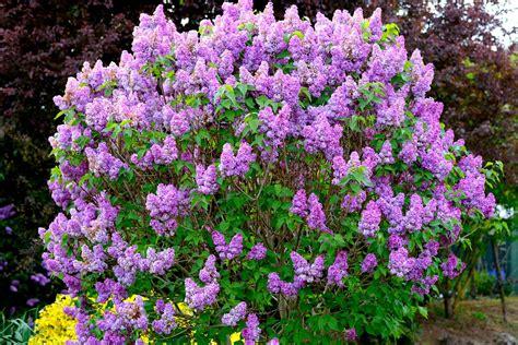 Purple Lilac Bush | www.pixshark.com - Images Galleries ...
