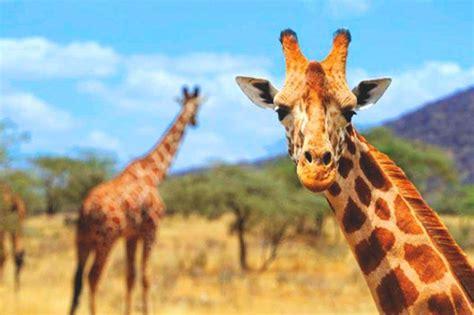 ¿Qué comen las jirafas?